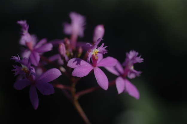 Brazilian Orchid, Epidendrum sp.