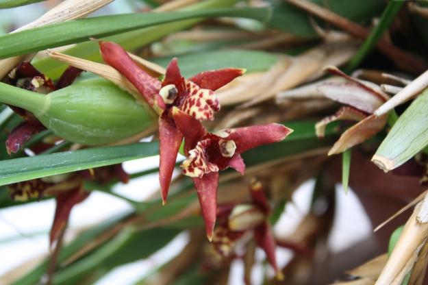 maxillaria tenuifolia